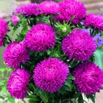 ASTER LADY CORAL DARK ROSE