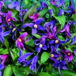 CLEMATIS INTEGRIFOLIA MIXED