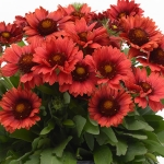 GAILLARDIA SIMPLE SIMON RED