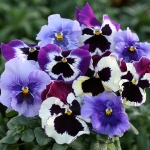 PANSY BLUEBERRY SURPRISE F1