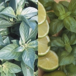 BASIL LEMON 'N' LIME DUO