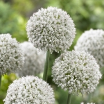 ALLIUM WALLICHII WHITE CLOUD