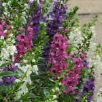 ANGELONIA SERENITA MIXED