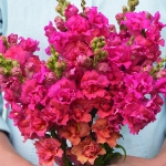 ANTIRRHINUM MADAME BUTTERFLY CORAL F1