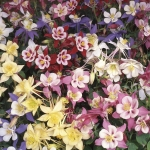 AQUILEGIA SWAN F1 MIXED