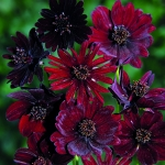 COSMOS ATROSANGUINEUS BLACK MAGIC