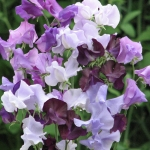 SWEET PEA WILDERNESS