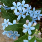 TWEEDIA CAERULEA HEAVENLY BLUE