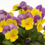 VIOLA SORBET YELLOW PINK JUMP UP F1