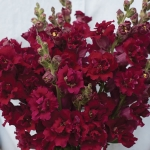 ANTIRRHINUM MADAME BUTTERFLY RED F1
