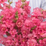 ANTIRRHINUM MADAME BUTTERFLY ROSE F1