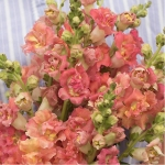 ANTIRRHINUM MADAME BUTTERFLY BRONZE WITH WHITE F1