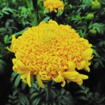 MARIGOLD MISSION GIANT YELLOW