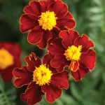 MARIGOLD RED KNIGHT