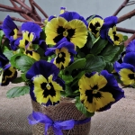 PANSY INSPIRE YELLOW WITH PURPLE WING F1