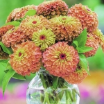 ZINNIA QUEEN LIME ORANGE