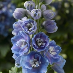 DELPHINIUM DELPHINA LIGHT BLUE