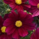 COSMOS SONATA PURPLE SHADES