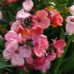 WALLFLOWER GIANT PINK