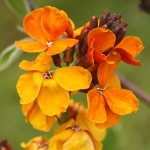 WALLFLOWER SUGAR RUSH ORANGE F1
