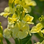 WALLFLOWER SUGAR RUSH PRIMROSE F1