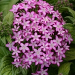 PENTA GLITTERATI PURPLE STAR