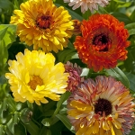 CALENDULA PLAYTIME MIXED
