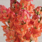 ANTIRRHINUM CHANTILLY BRONZE F1