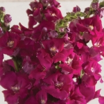 ANTIRRHINUM CHANTILLY PURPLE F1