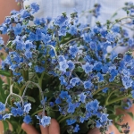 CYNOGLOSSUM CHINESE FORGET ME NOT