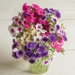 PHLOX DRUMMONDI ART SHADES