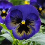 PANSY MATRIX MIDNIGHT GLOW F1