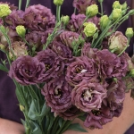 EUSTOMA ROSANNE DEEP BROWN F1