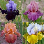 CAPTIVATING BEARDED IRIS COLLECTION