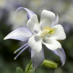 AQUILEGIA KIRIGAMI LIGHT BLUE F1