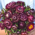 HELICHRYSUM DRAGON FIRE