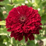 ZINNIA FLORIST DEEP RED F1