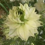 NIGELLA DOUBLE WHITE