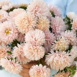 ASTER APRICOT DREAM