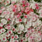 PHLOX DRUMMONDI BLUSHING BRIDE