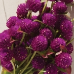 GOMPHRENA QIS PURPLE