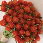 GOMPHRENA QIS ORANGE