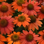 ECHINACEA ARTISAN OMBRE RED F1