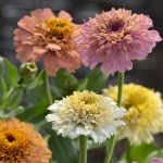 ZINNIA PEACHES & CREAM