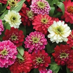 ZINNIA ZAHARA DOUBLE BERRIES MIXED