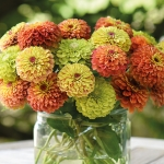 ZINNIA QUEEN LIME MIXED