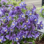 AQUILEGIA EARLY BIRD PURPLE BLUE F1