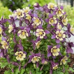 AQUILEGIA EARLY BIRD PURPLE YELLOW F1