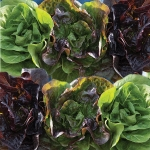 LETTUCE MINI GEM MIXED