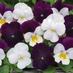 VIOLA BLACKBERRY SUNDAE MIXED F1